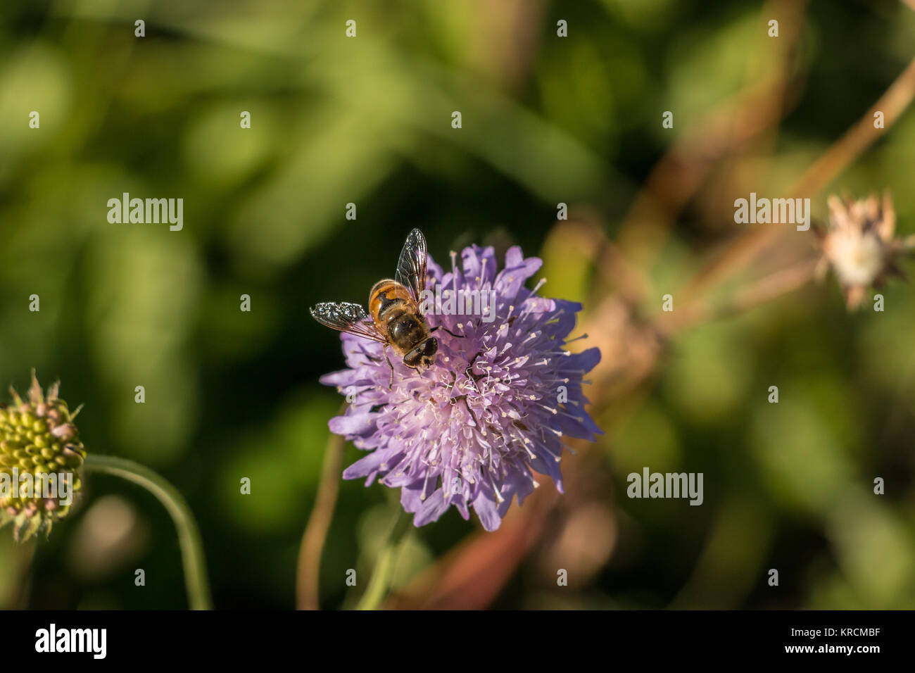 Fly on violet flower on the green field of the park Stock Photo