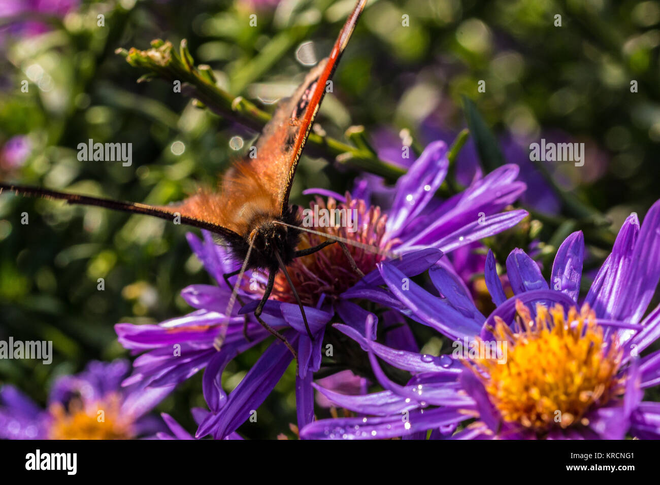 Butterfly on violet flower on the green field of the park - Stock Image