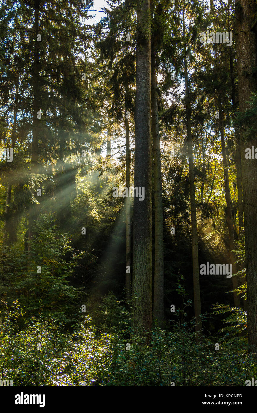 Sunrays through the green trees of the forest - Stock Image