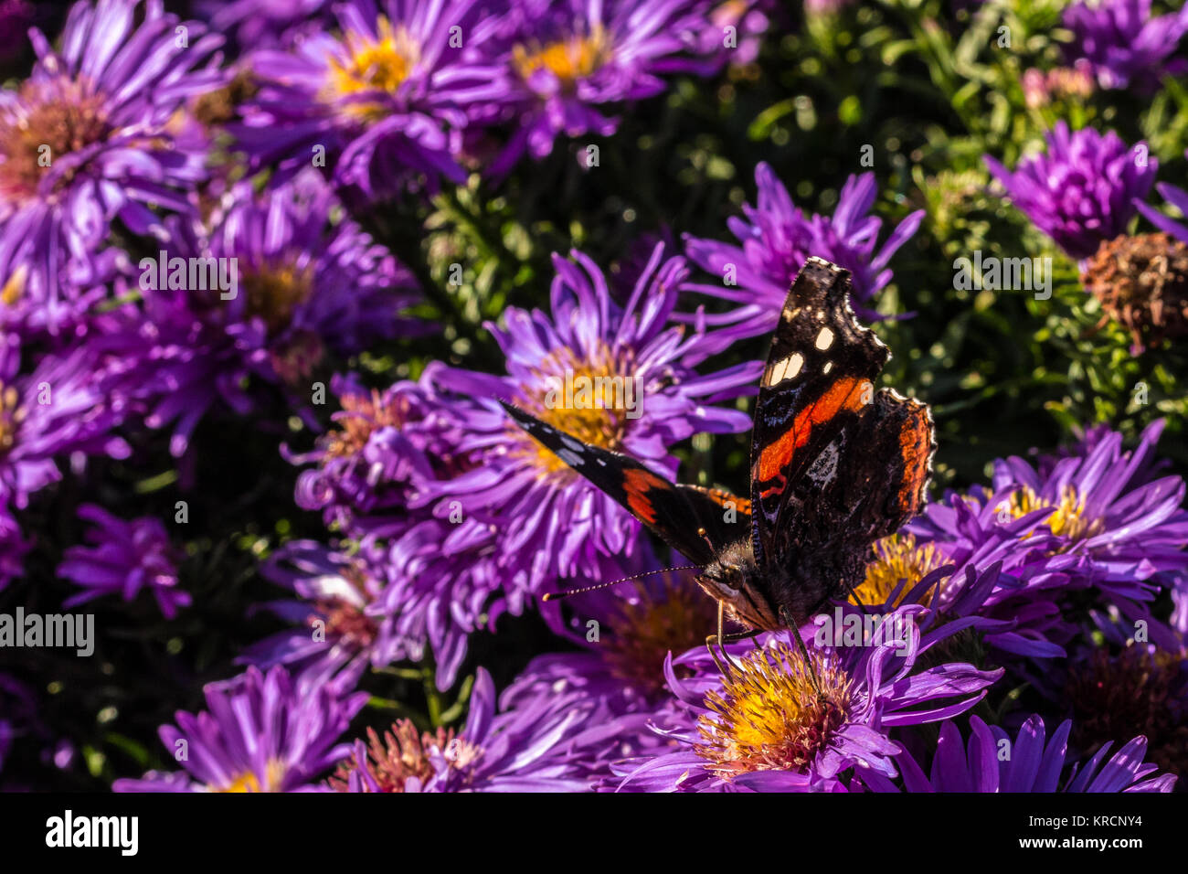 Black butterfly on violet flower on the green field of the park - Stock Image