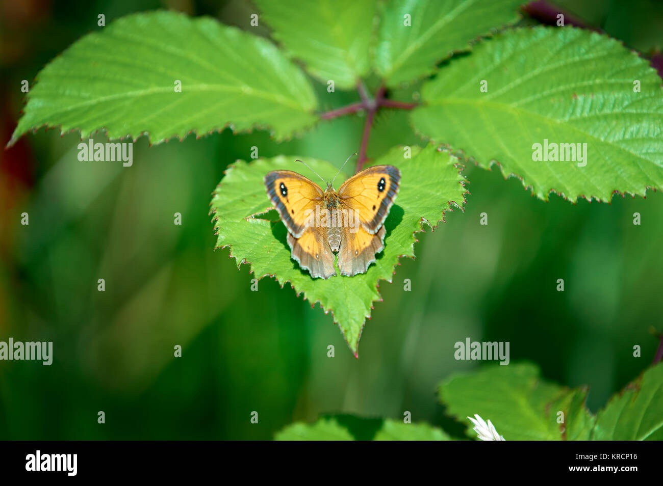 Pyronia tithonus, Gatekeeper butterfly, or hedge brown, - Stock Image