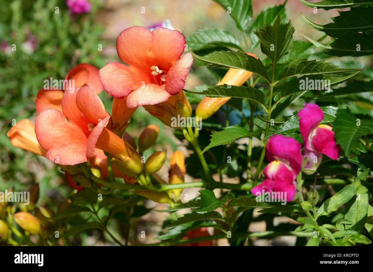 Pink Orange Flowers Trumpet Vine Stock Photos Pink Orange Flowers