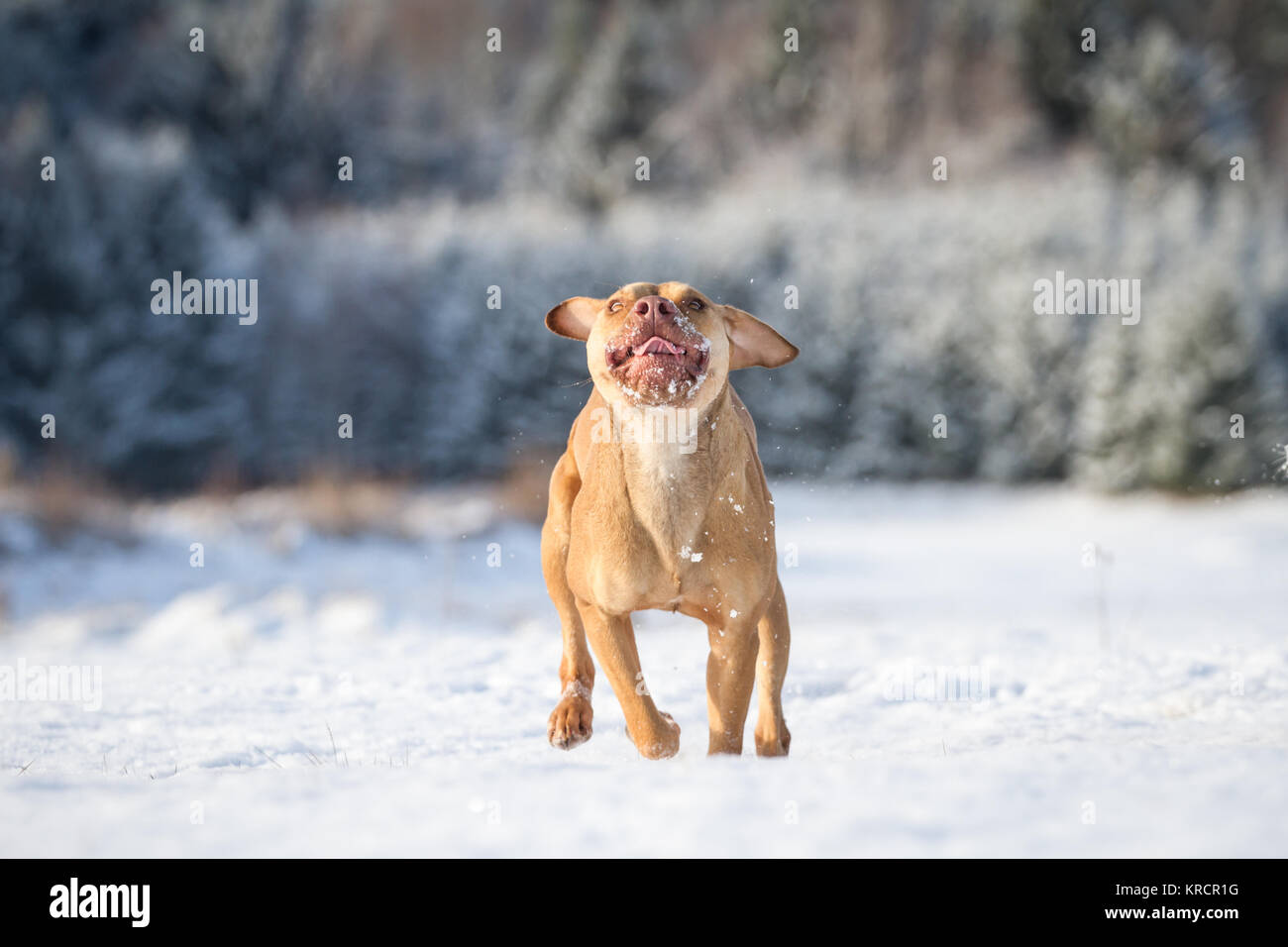Working Pit Bulldog female (canis lupus familiaris) running in the snow - Stock Image