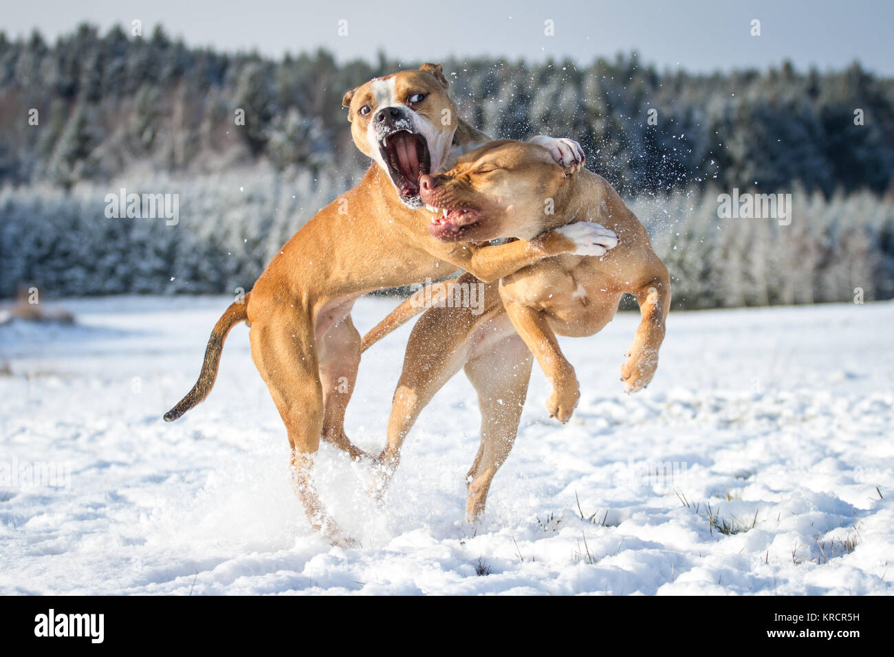 American Pit Bull Terrier & Working Pit Bulldog dog friends on a sunny winter day playing in the snow - Stock Image