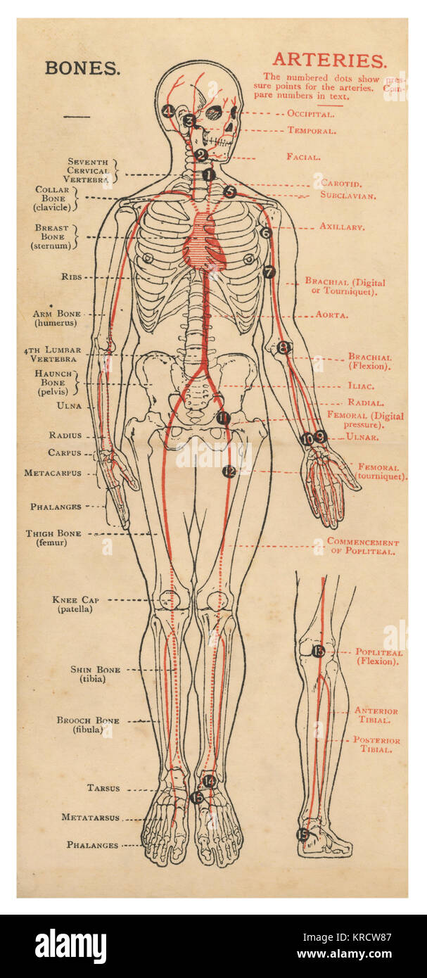 A Diagram Of The Human Body With Details Of Bones And Arteries