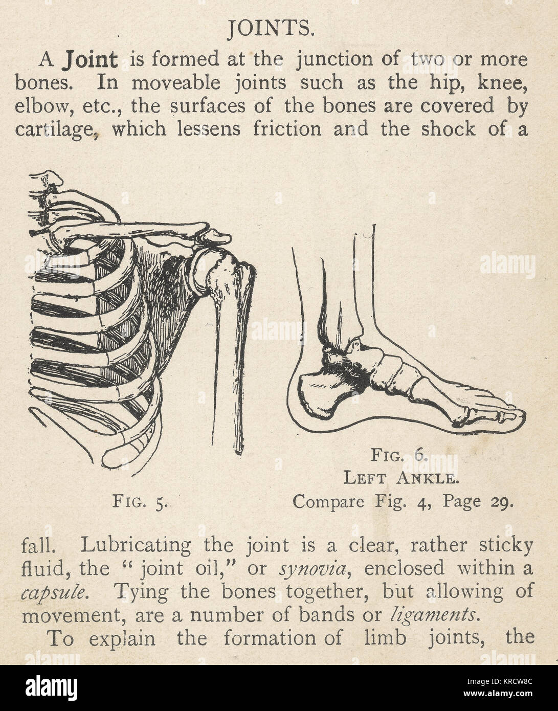 Diagrams of the human shoulder and ankle joints. Date: 1908 Stock ...