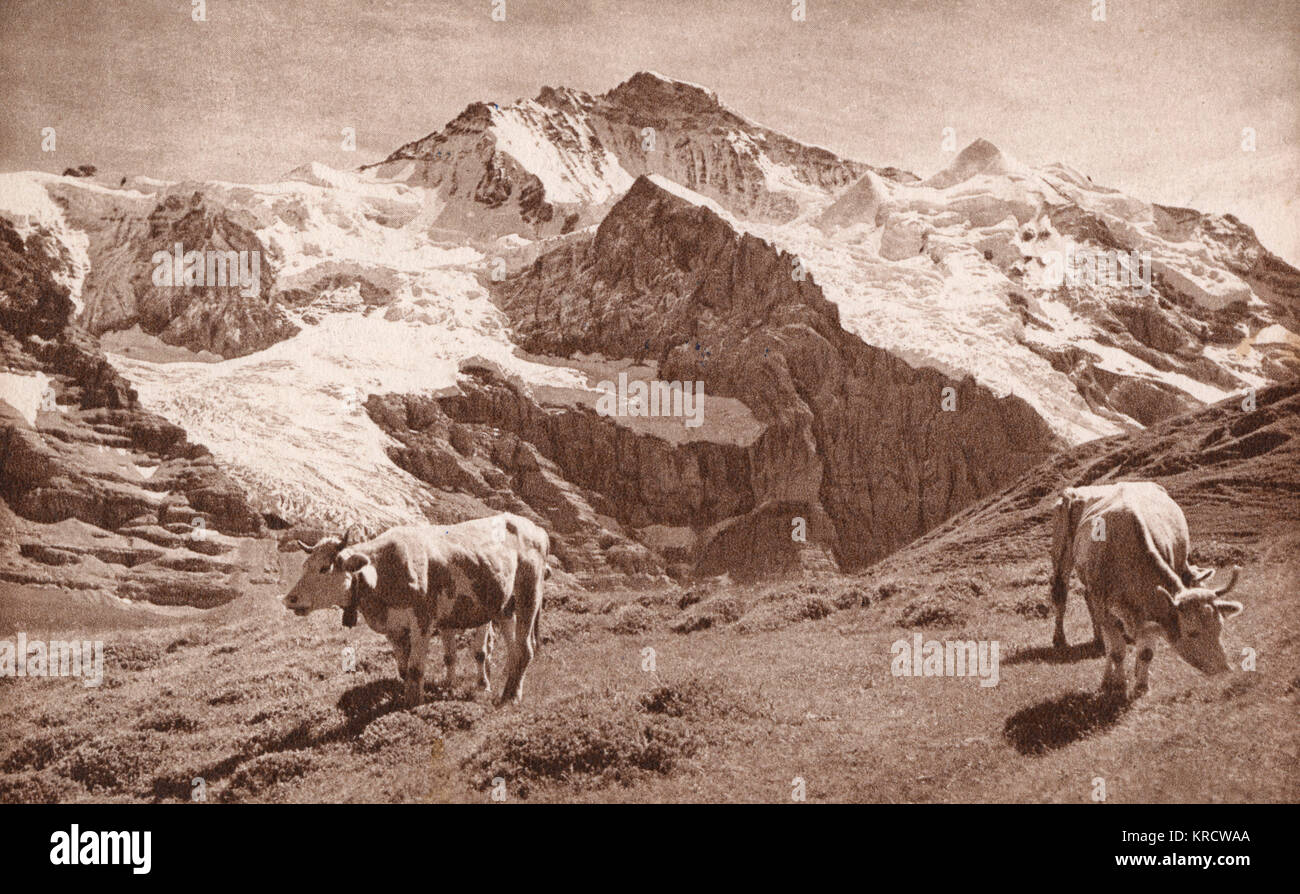 View of the Jungfrau, in the Swiss Alps. Its altitude is 4166 metres -- fortunately for the cows, they are slightly - Stock Image