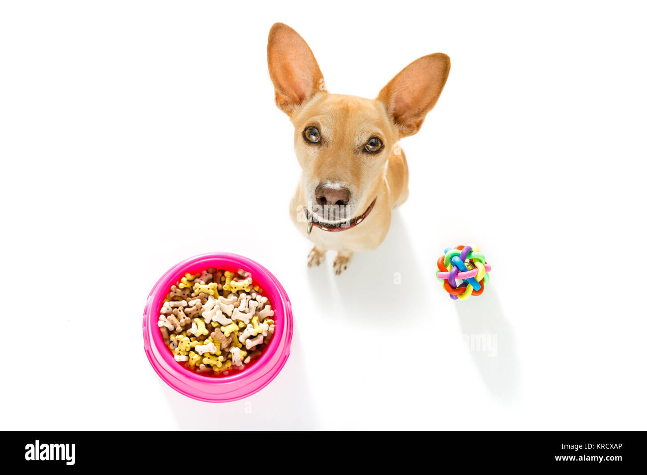 hungry  chihuahua podenco dog behind food bowl  isolated wood background at home and kitchen looking up  to owner - Stock Image