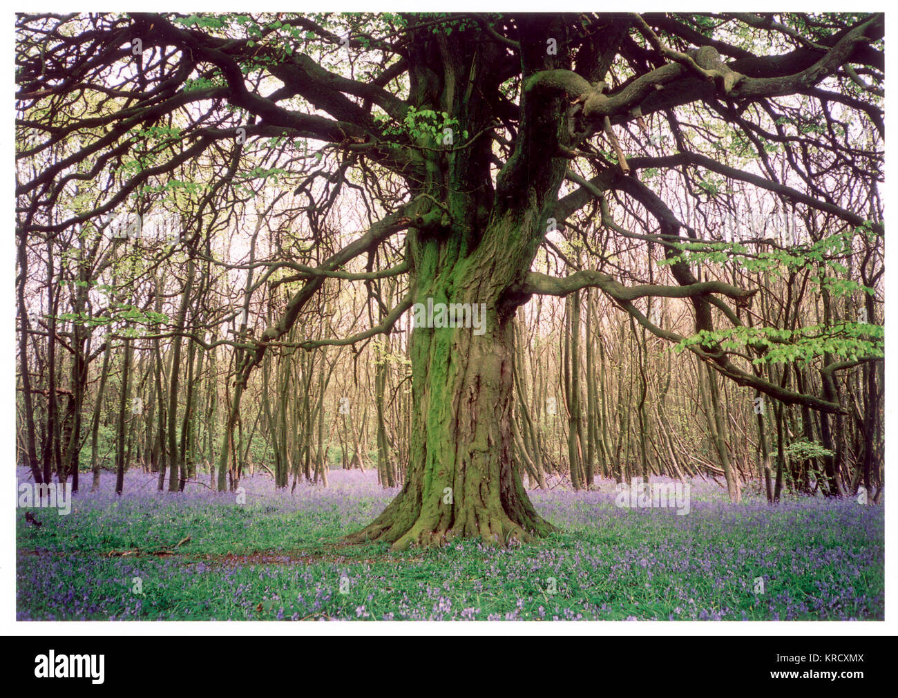 A gnarled ancient tree stands  alone in a circular clearing  surrounded by coppiced trees.  A carpet of fragrant - Stock Image