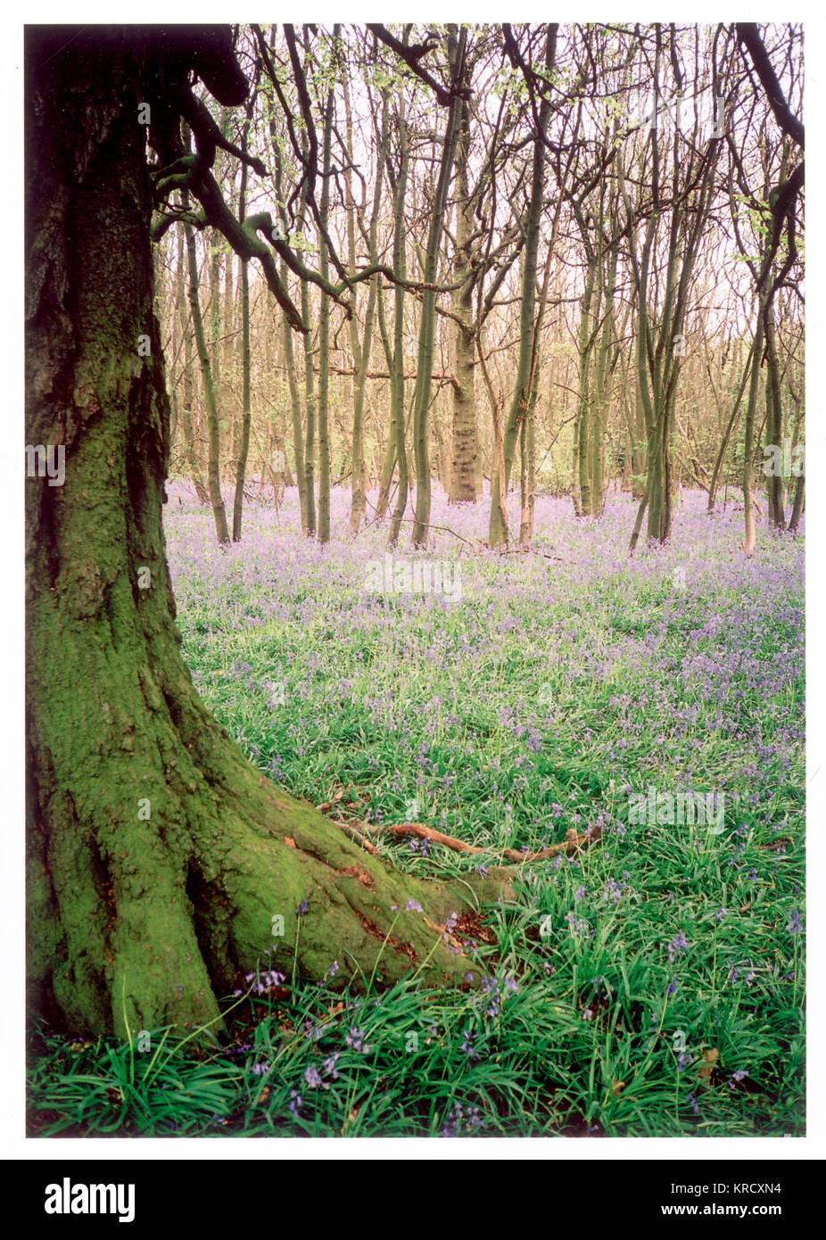 A gnarled, moss-covered tree  stands alone in a clearing  surrounded by coppiced trees.  A carpet of fragrant English - Stock Image