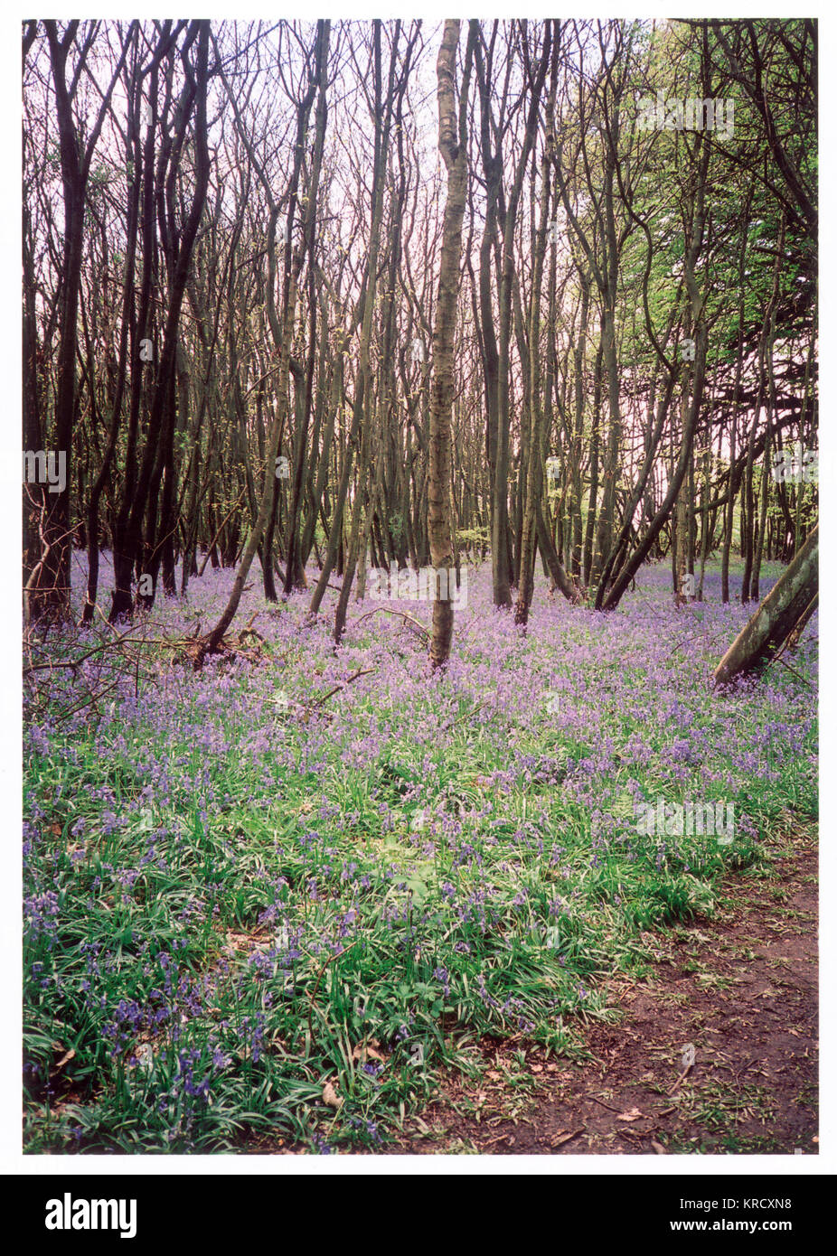 Spring time in an English  woodland. The ground beneath  the narrow trunks of the  coppiced trees is carpeted  with - Stock Image