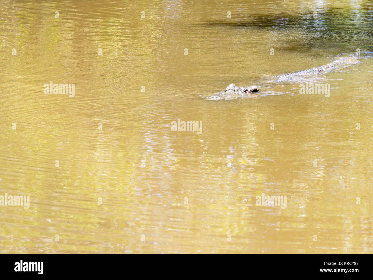 Crocodile portrait - Stock Image