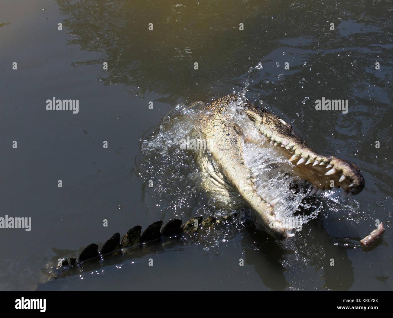 Crocodile portrait close up - Stock Image