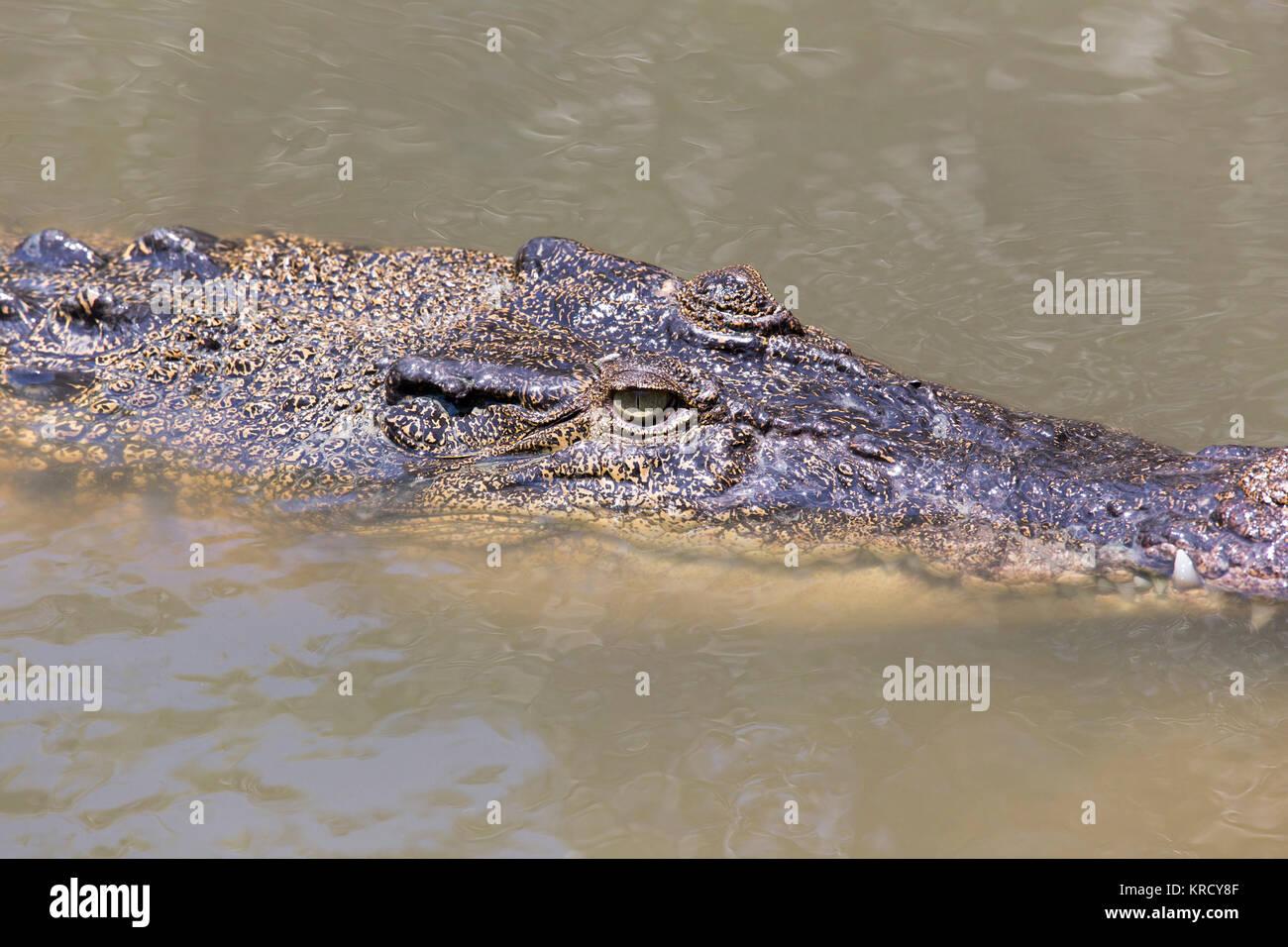 Crocodile portrait in Vietnam - Stock Image