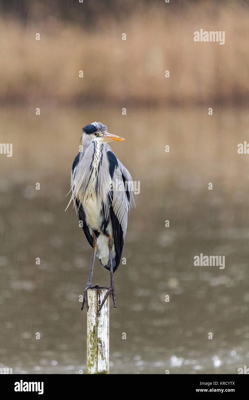 Grey Heron (Ardea cinerea) perched on a partially submerged wooden post viewed from a hide at the Warnham wildlife - Stock Image