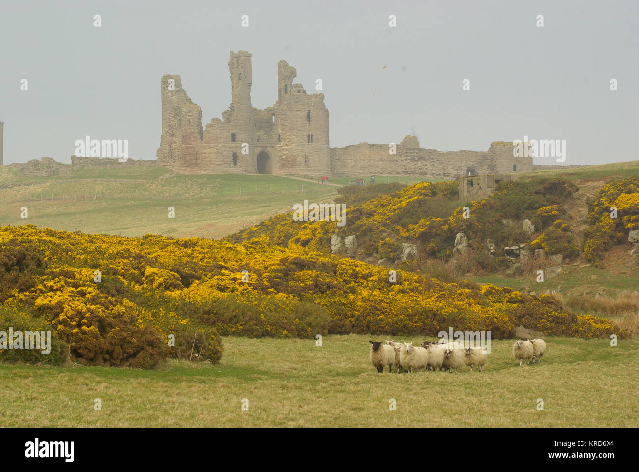 Dunstanburgh Castle on the coast of Northumberland, viewed across the gorse on a misty day, with a flock of sheep - Stock Image