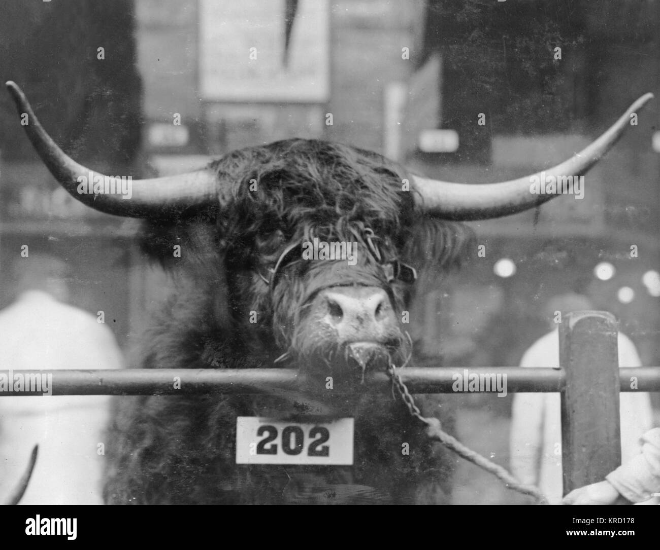 One of King Edward VII's prizewinners at the Smithfield Show in the Agricultural Hall, Islington, North London. - Stock Image