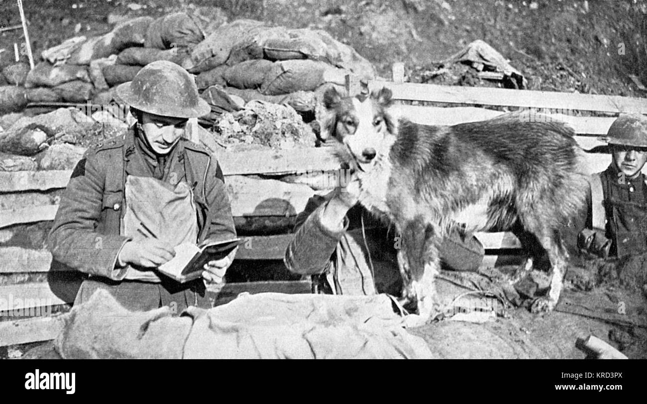 Messenger dog, Nell.  This dog worked with the British Army throughout the war, delivering messages between trenches - Stock Image