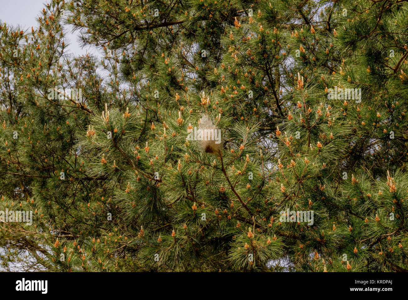 Pine processionary moth caterpillars in silken nests on pine tree to survive winter. Northern Spain, February 2017. - Stock Image