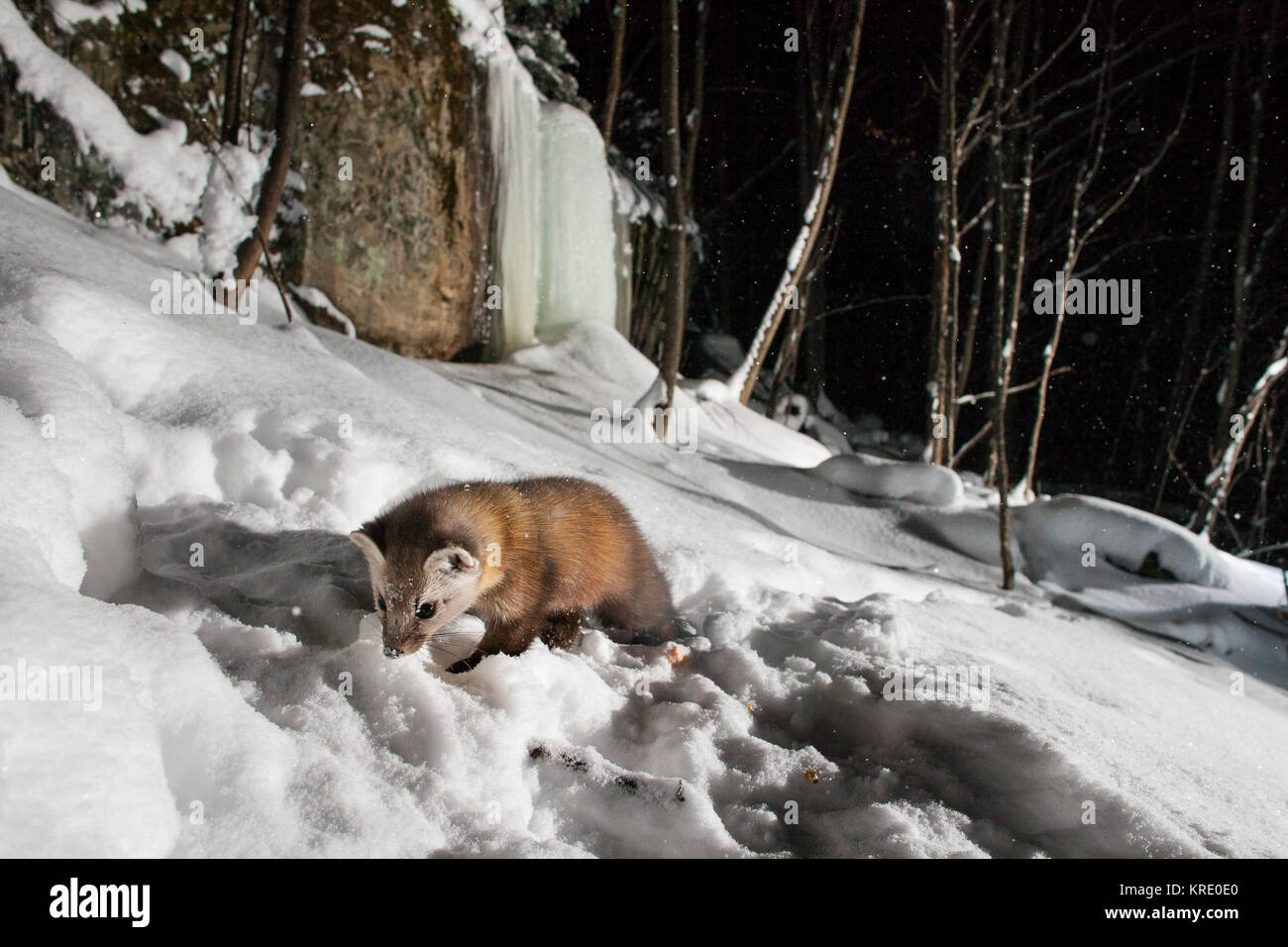 MAYNOOTH, ONTARIO, CANADA - December 18, 2017: A marten (Martes americana), part of the Weasel family / Mustelidae - Stock Image
