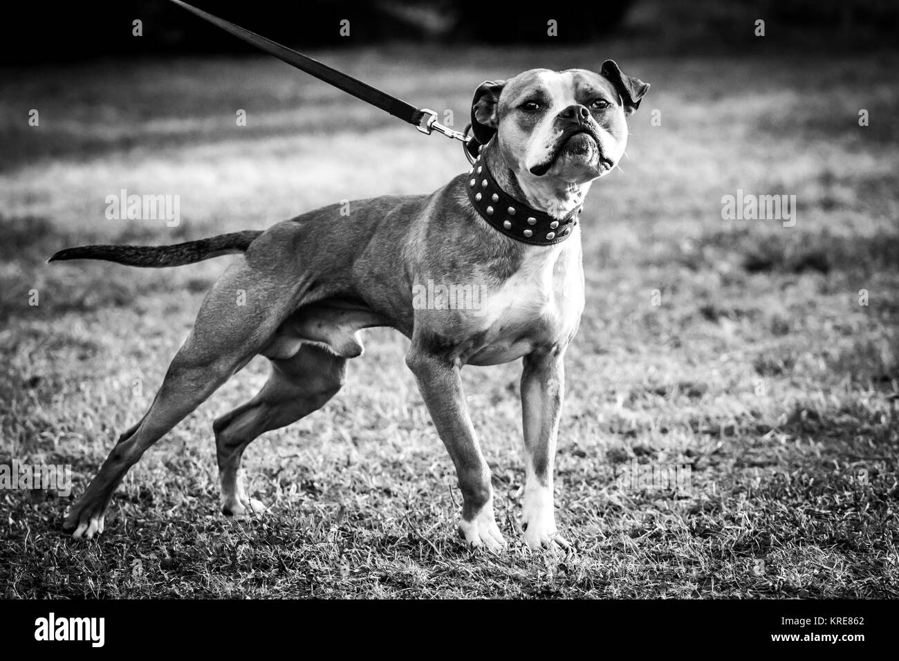 American Pit Bull Terrier with a rivet collar - Stock Image