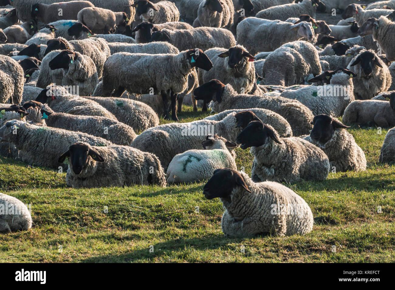 Mont Saint-Michel (Saint Michael's Mount), Normandy, north-western France: Salt meadow sheep in salt marshes. - Stock Image