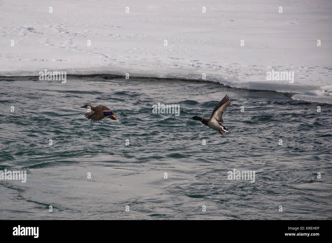 Mallard Ducks in Flight over Icy Water, Bow River, Inglewood Bird Sanctuary, Calgary, Alberta, Canada. Stock Photo