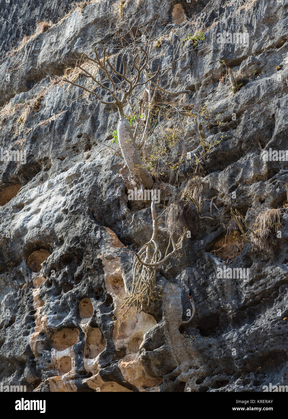 Madagascar Bottle tree (Pachypodium baronii) grows on limestone cliff in Tsingy de Bemaraha National Park. Madagascar, - Stock Image