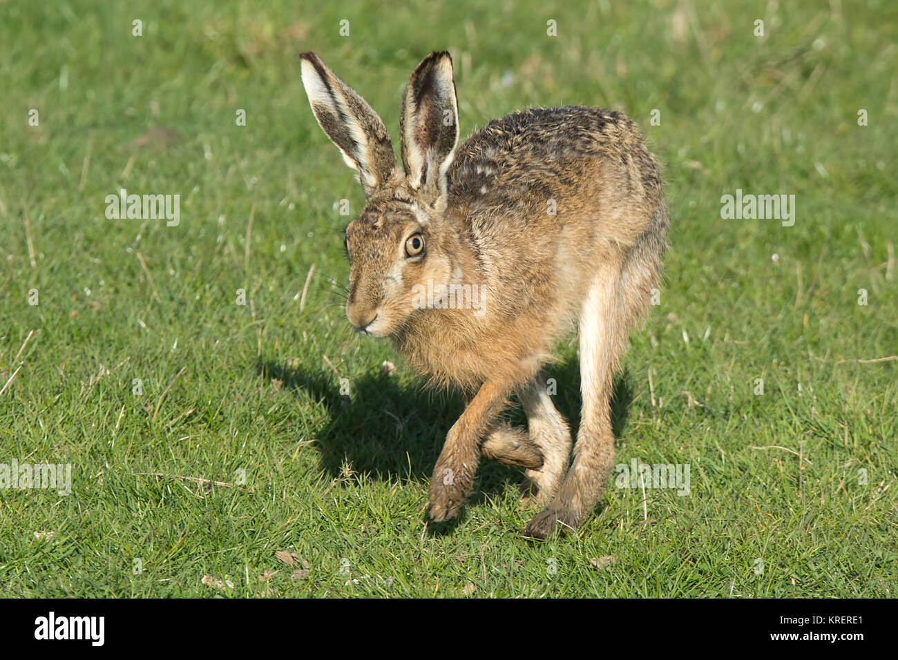 Brown Hare running, from Elmley nature reserve - Stock Image