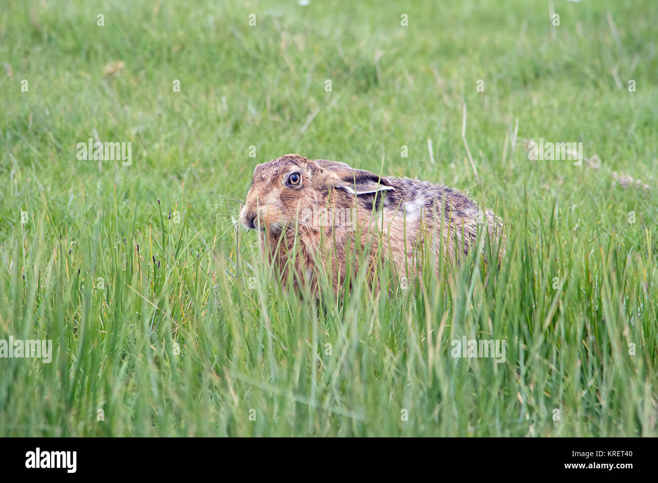 Brown Hare in long grass  from Elmley nature reserve - Stock Image