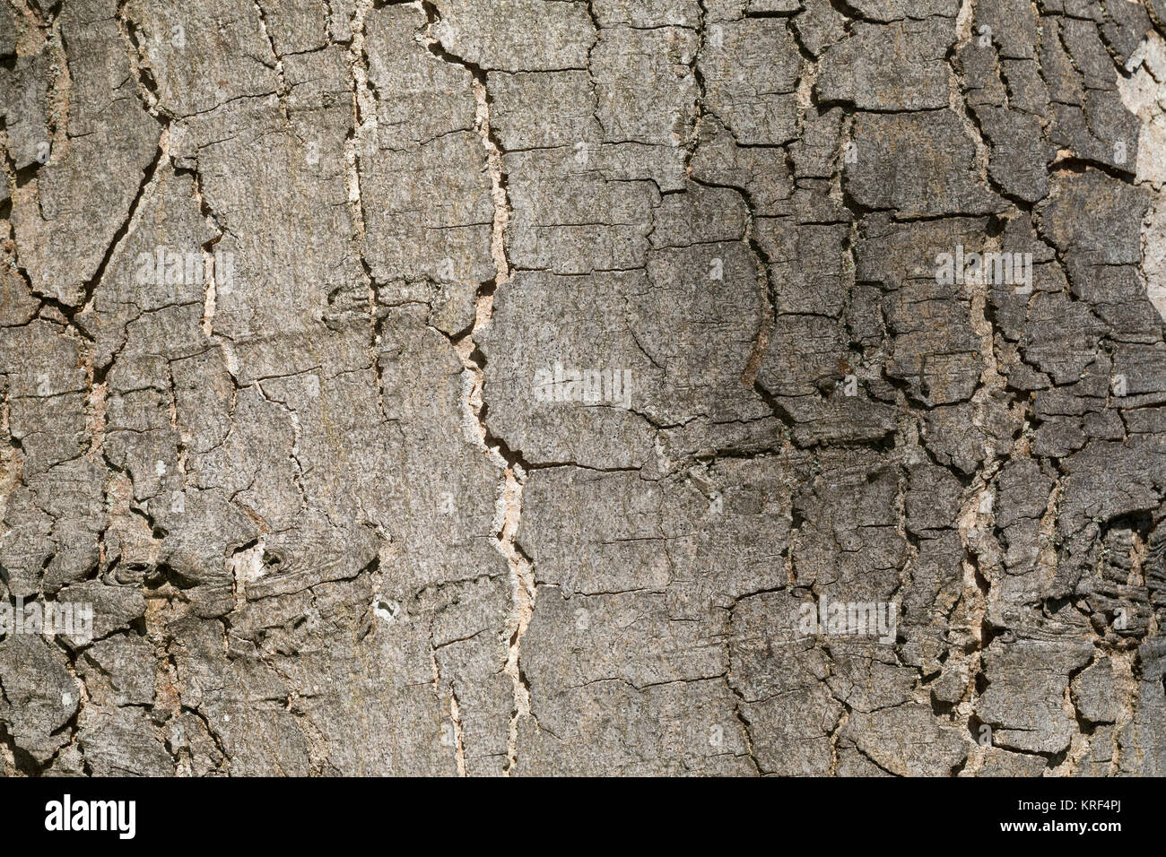 Berg-Ahorn, Bergahorn, Rinde, Borke, Stamm, Baumstamm, Ahorn, Acer pseudoplatanus, Sycamore, Erable sycomore, sycamore Stock Photo