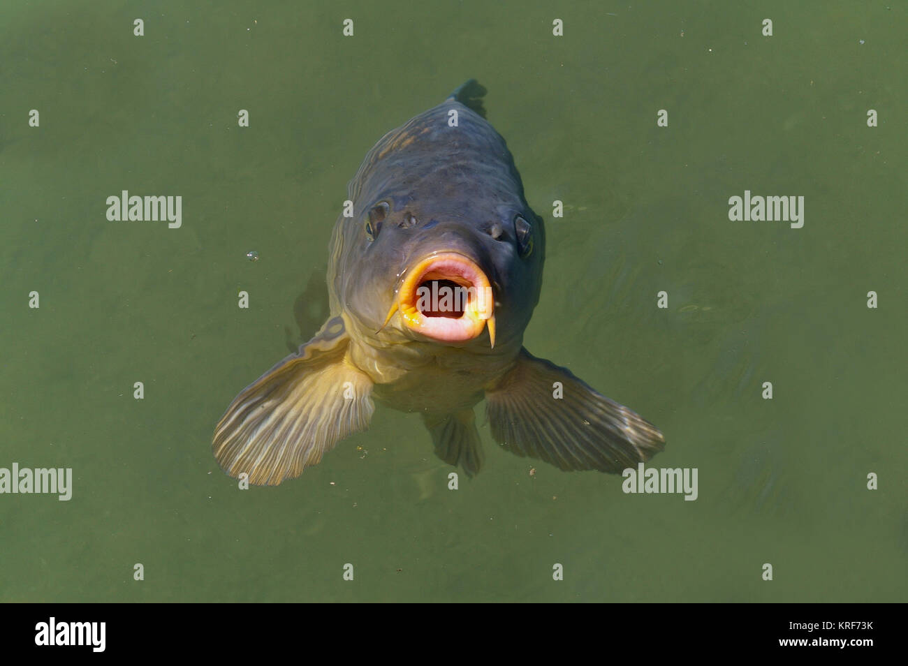 Common carp breaking the surface waiting to be fed Stock Photo