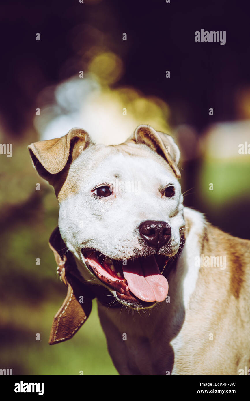 American Pit Bull Terrier portrait - Stock Image