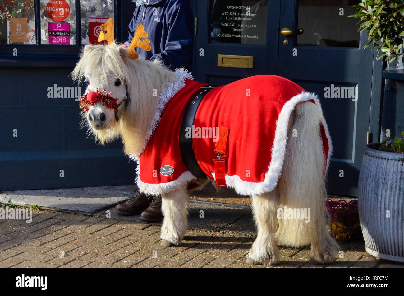 Beaminster, Dorset, UK.  19th December 2017.   A Ferne Animal Sanctuary Shetland pony at Beaminster in Dorset adorned - Stock Image