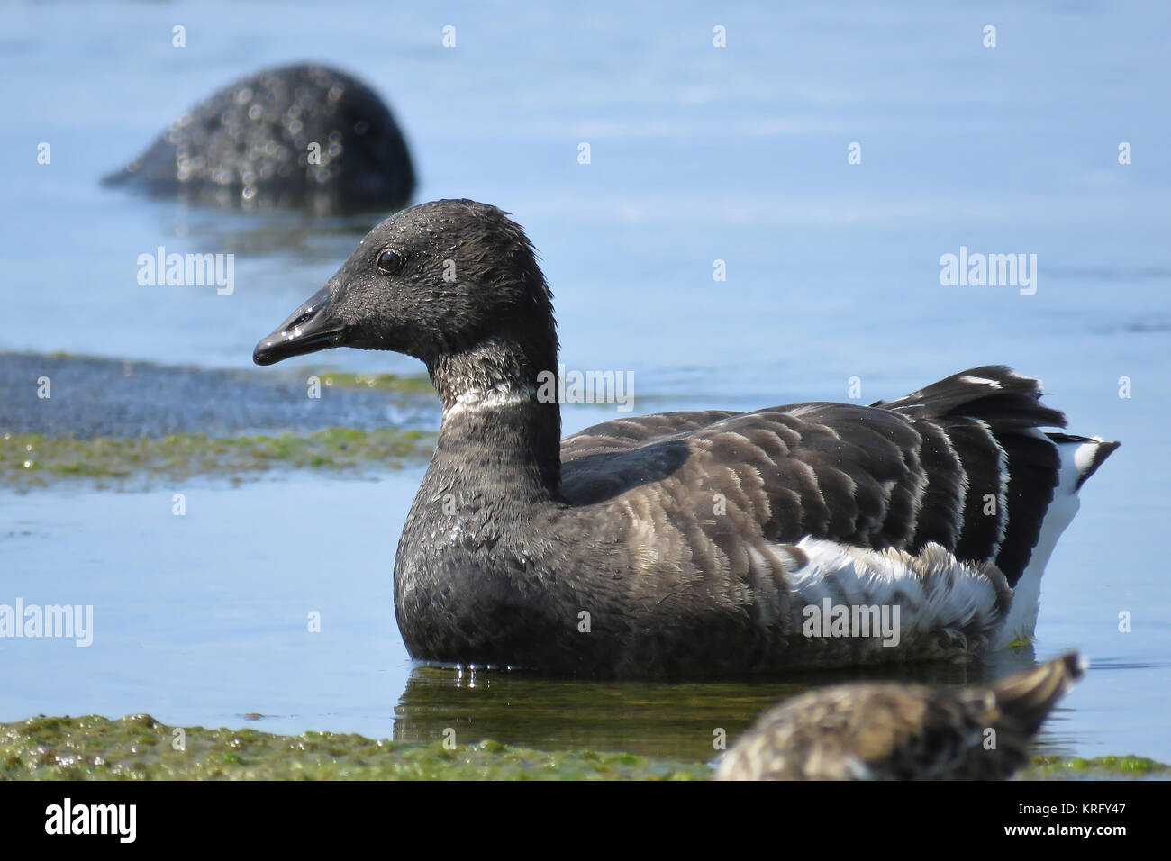 Black brant or Pacific brent goose (Branta bernicla nigricans) on Big Island, Hawaii - Stock Image
