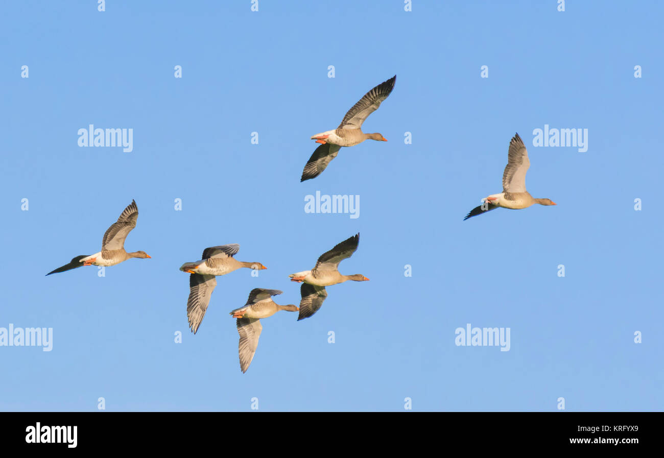 Skein of Geese flying against blue sky in Winter, in West Sussex, England, UK. - Stock Image