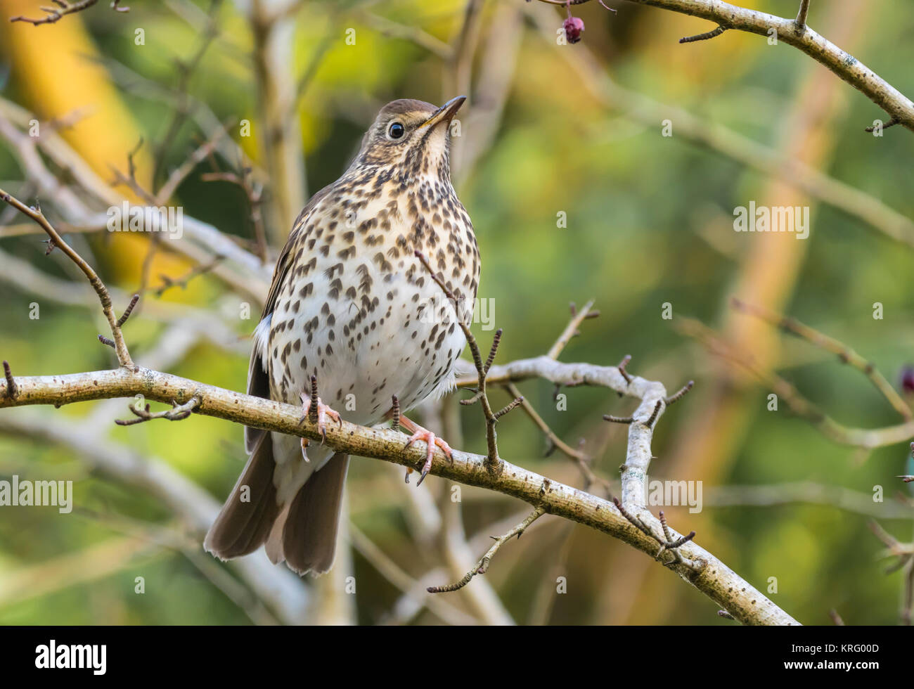 Song Thrush (Turdus philomelos) perched on a twig in Winter in West Sussex, England, UK. - Stock Image