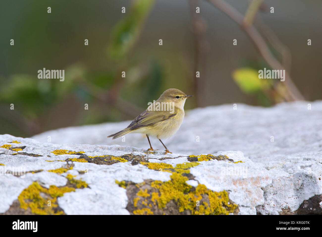 Siberian chiffchaff (Phylloscopus collybita tristis / Phylloscopus tristis) perched on rock in autumn, Sweden - Stock Image