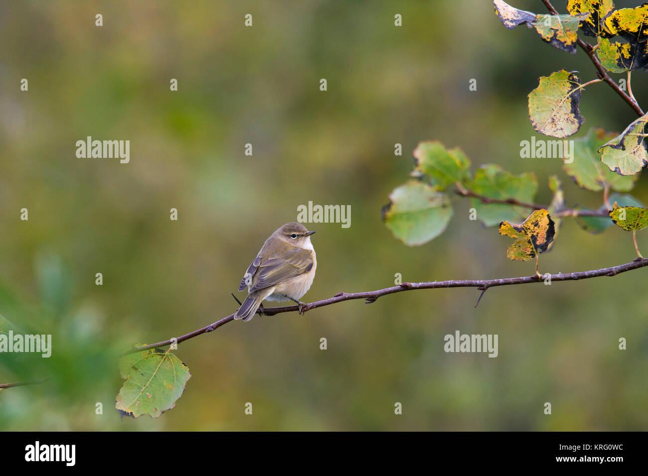 Siberian chiffchaff (Phylloscopus collybita tristis / Phylloscopus tristis) perched in tree in autumn, Sweden - Stock Image