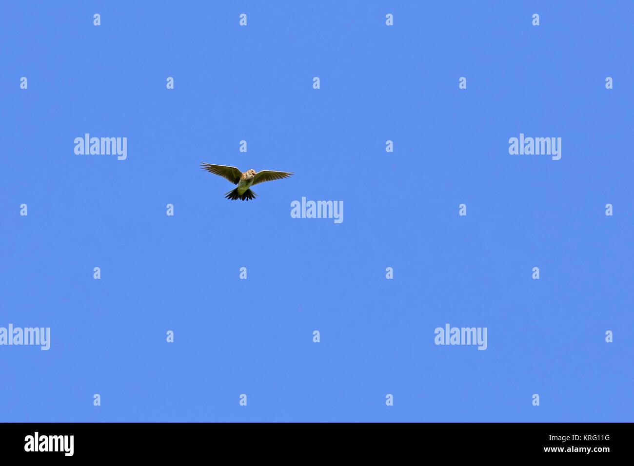 Singing Eurasian skylark / common skylark (Alauda arvensis) in flight against blue sky - Stock Image