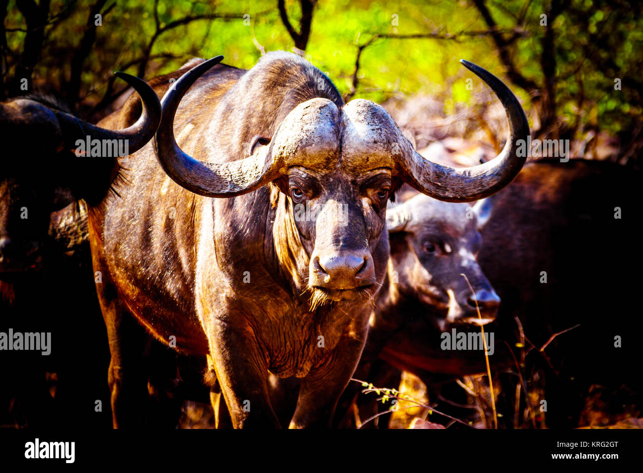 Closeup Portrait of a large Water Buffalo in Kruger National Park in South Africa - Stock Image