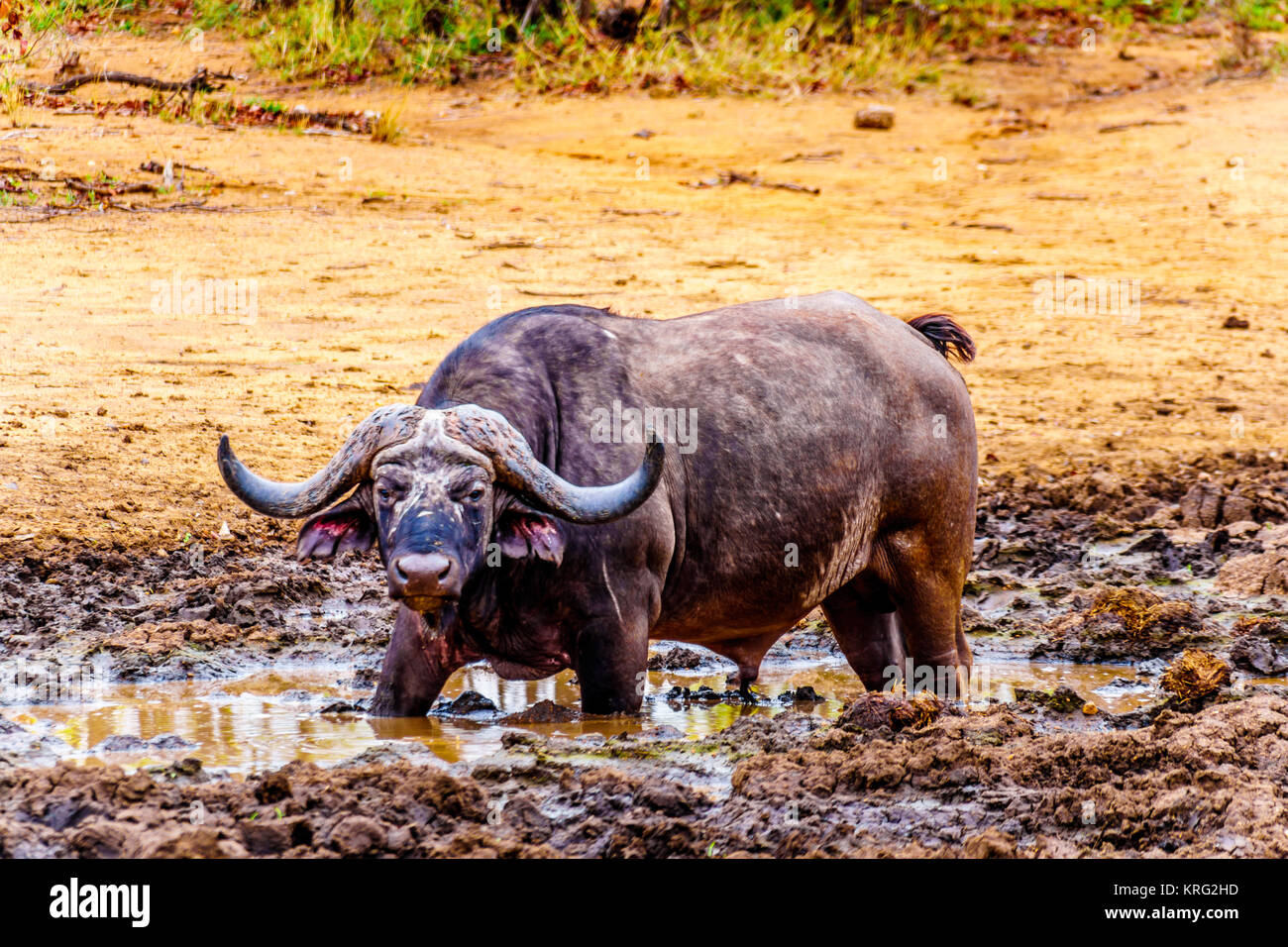 Swamp Water Buffalo standing in a pool of mud in Kruger National Park in South Africa - Stock Image
