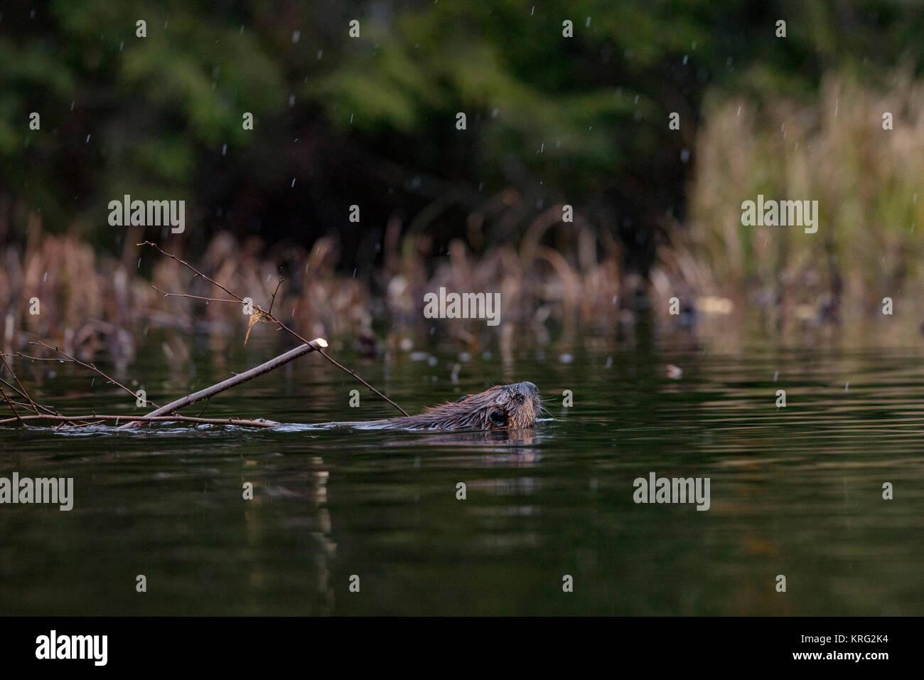 MAYNOOTH, HASTINGS HIGHLANDS, ONTARIO, CANADA - November 7, 2017: A North American Beaver (Castor Canadensis). - Stock Image