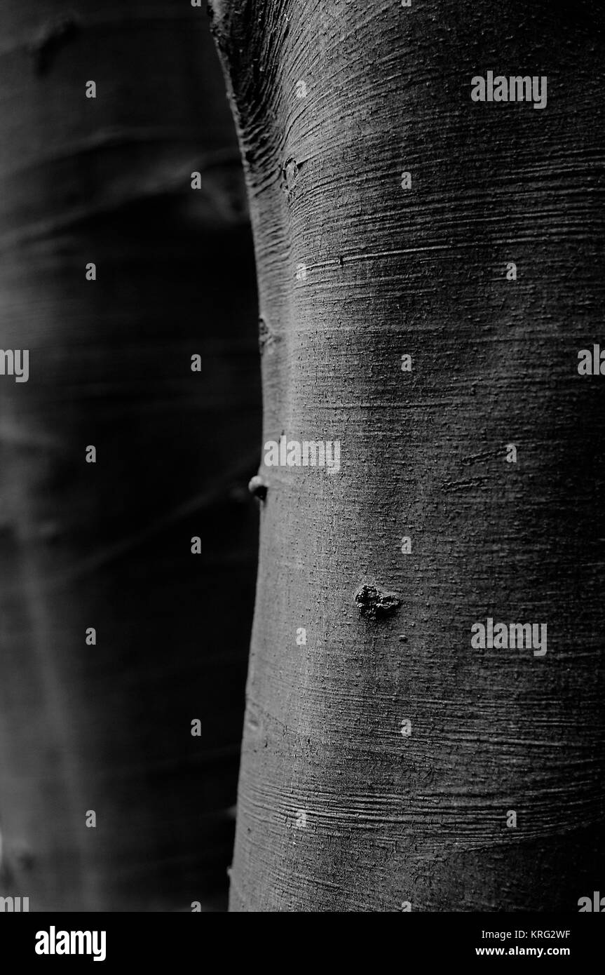 Beech trees, trunks, stems against each other - Stock Image
