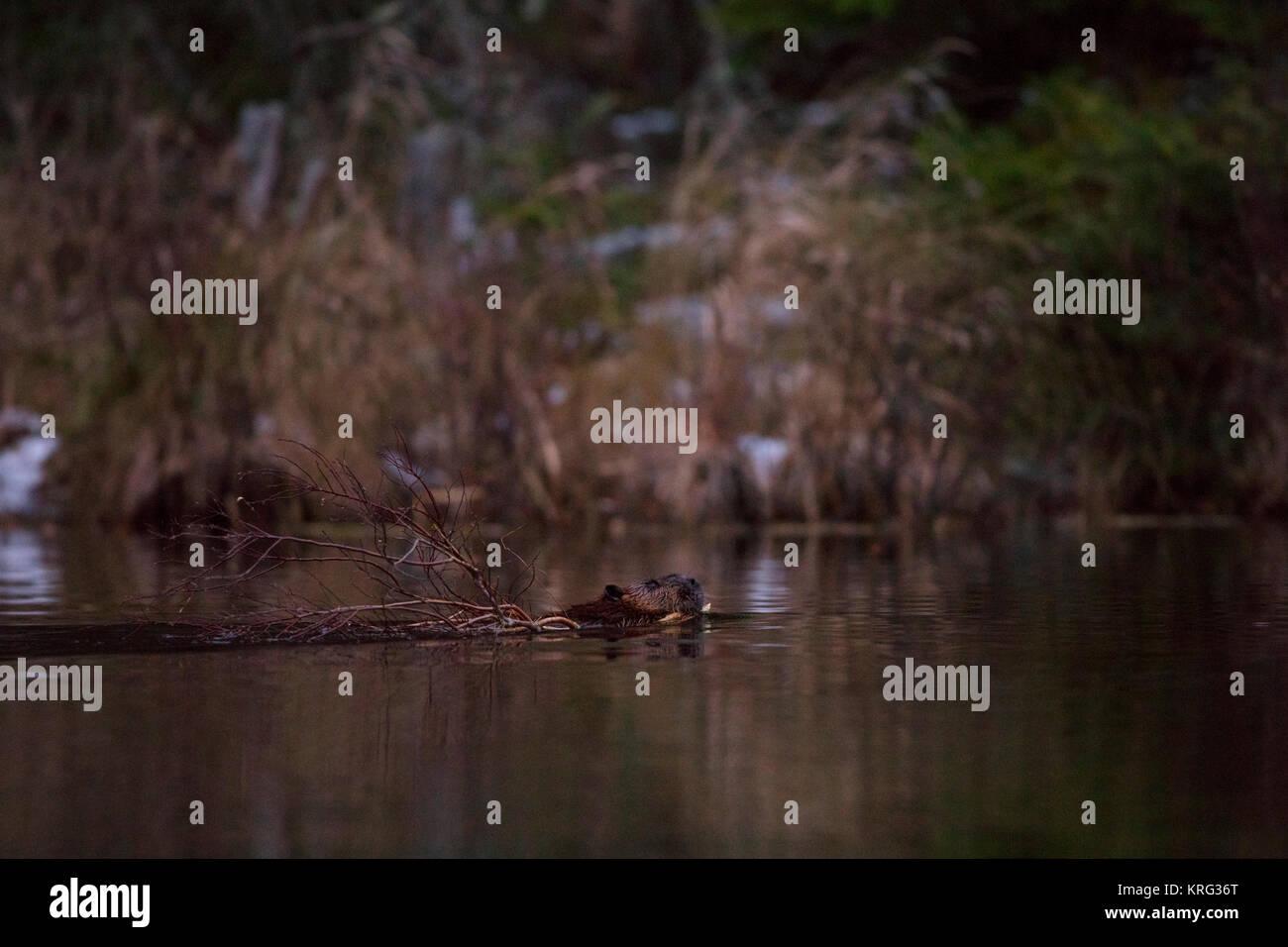 MAYNOOTH, HASTINGS HIGHLANDS, ONTARIO, CANADA - November 13, 2017: A North American Beaver (Castor Canadensis). - Stock Image
