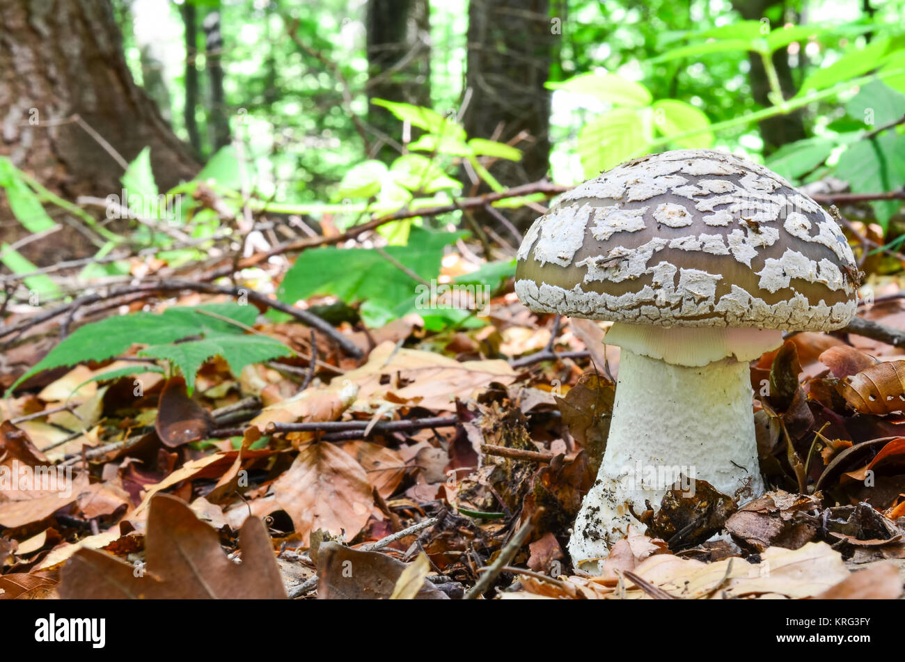 Grey Spotted Amanita, Amanita spissa or A.excelsa, edible wild mushroom, but very similar to dangerously poisonous - Stock Image