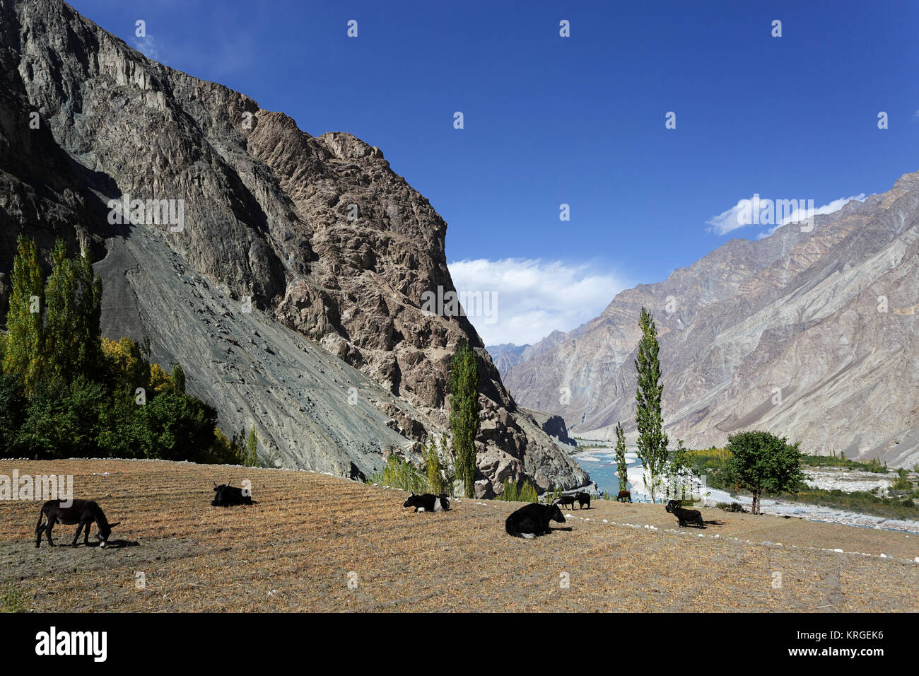 Yaks and donkeys grazing on a field by the river, Turtuk, Nubra Valley, Ladakh, Jammu and Kashmir, India. - Stock Image