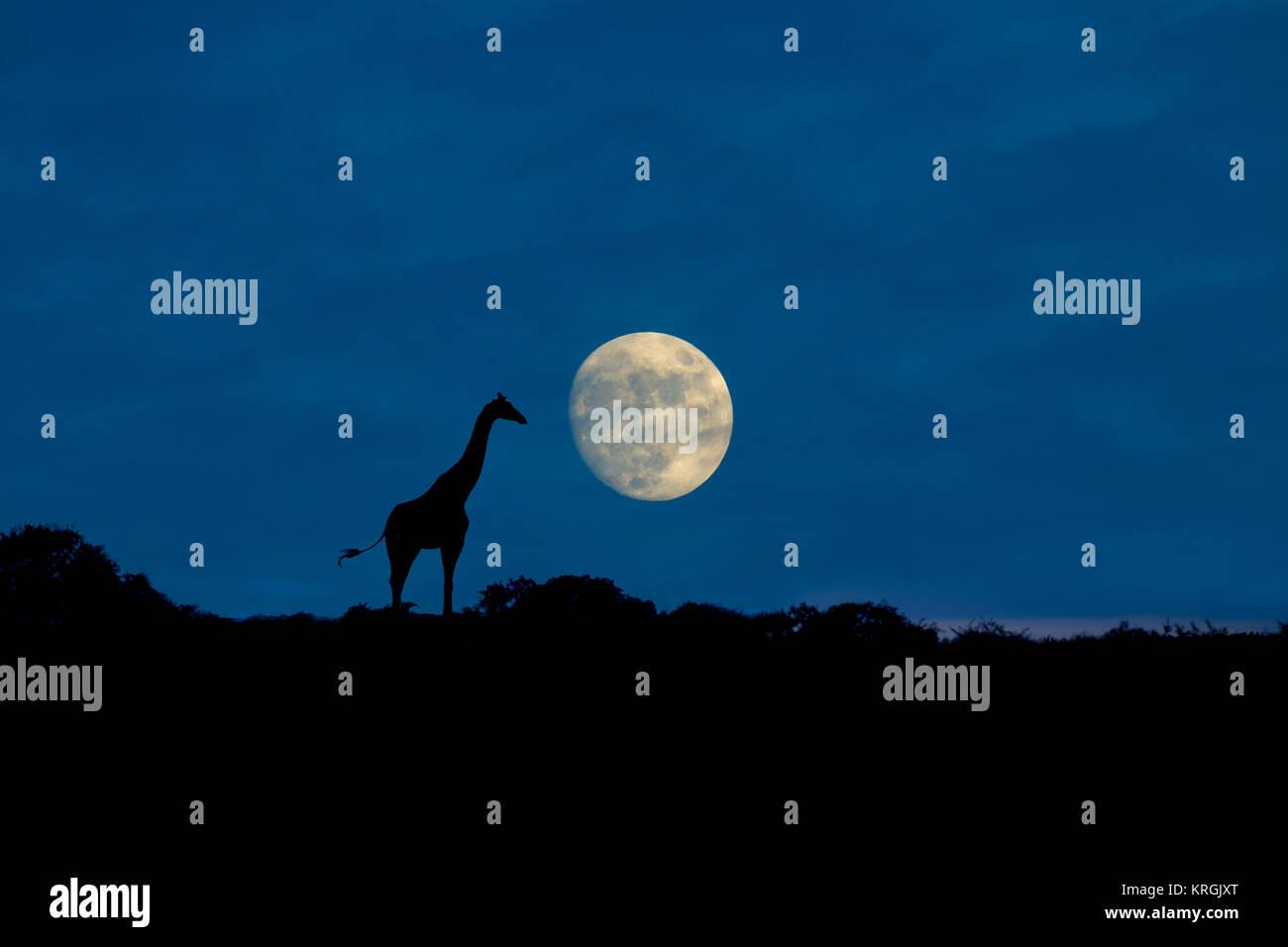 Angolan giraffe Giraffa giraffa angolensis known as Namibian giraffe at moonrise northern Namibia - Stock Image