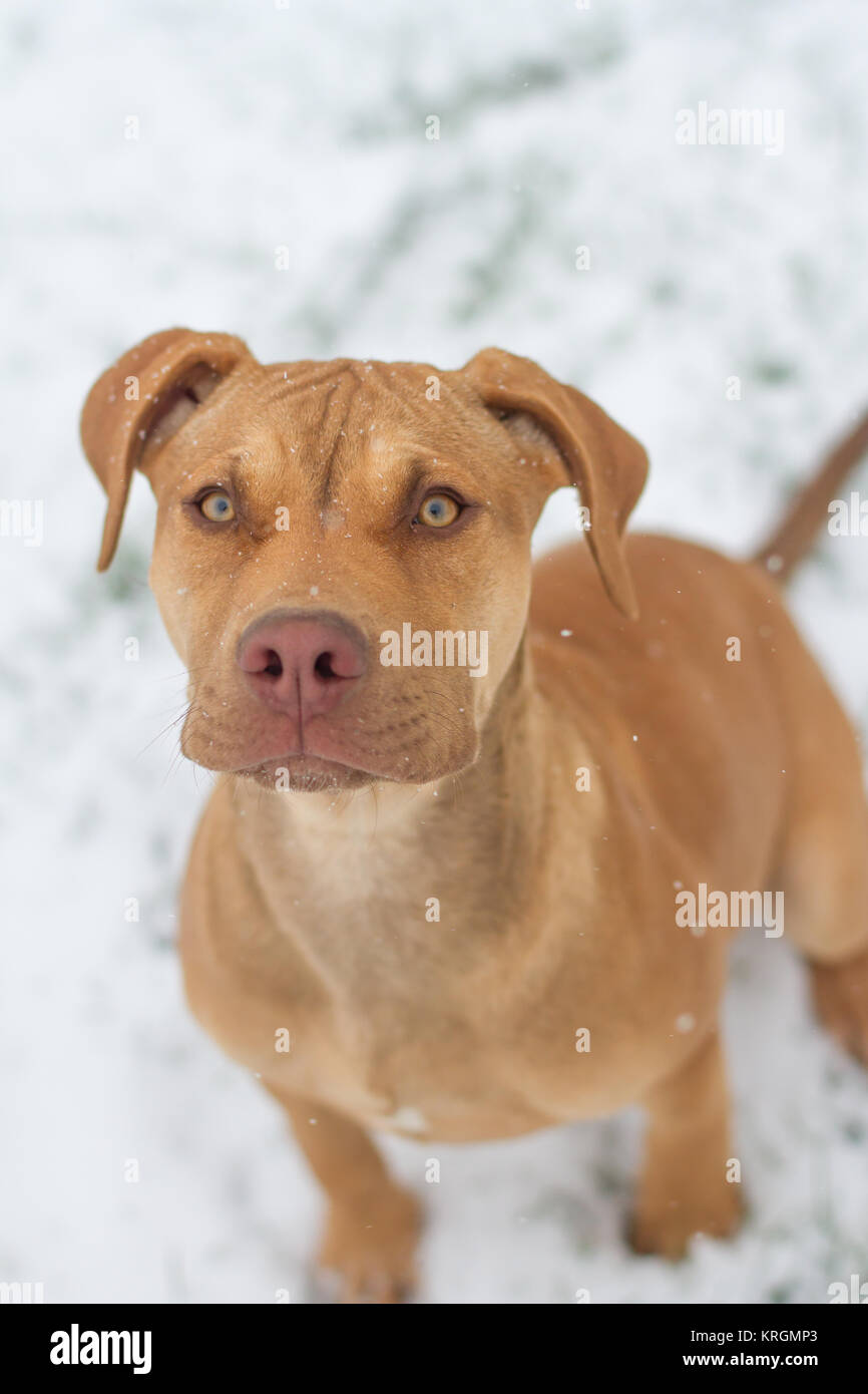 Working Pit Bulldog Puppy In The Snow Stock Photo Alamy