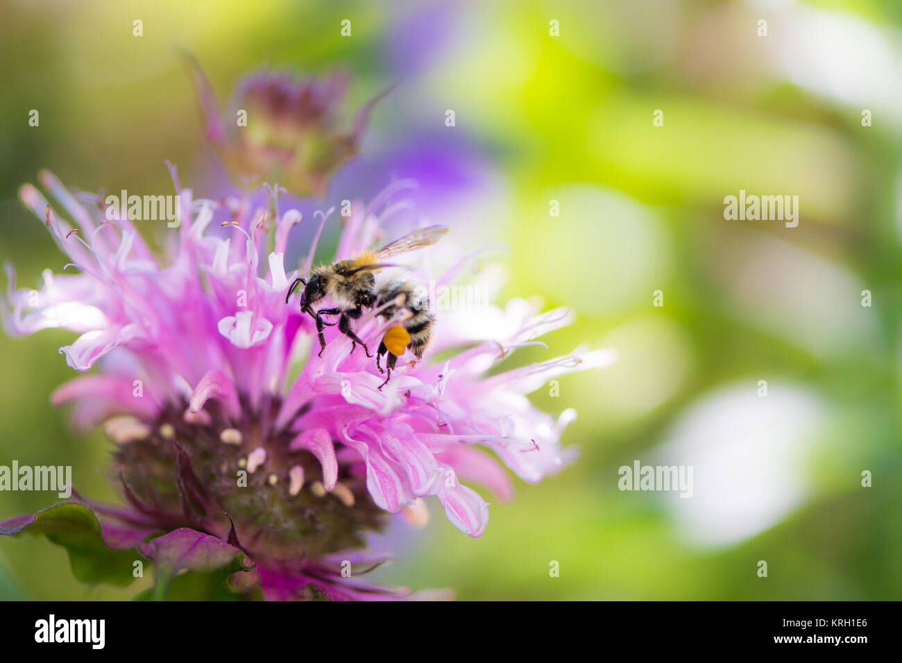Bee on a scarlet beebalm flower blossom Stock Photo